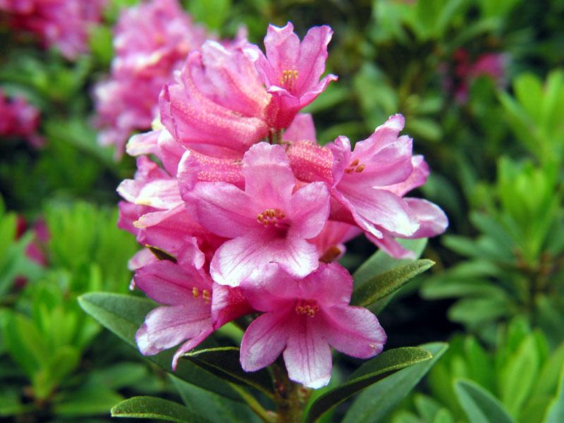 Azalea rododendro for Rododendro pianta