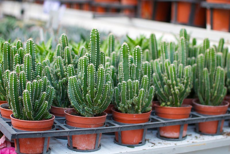 Le piante grasse caratteristiche e cura della piante grasse - Piante grasse da esterno pendenti ...