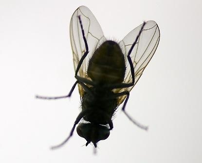 Come scacciare le mosche rimedi naturali contro le mosche for Formiche volanti in casa