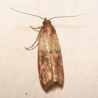 how to get rid of cloth moths